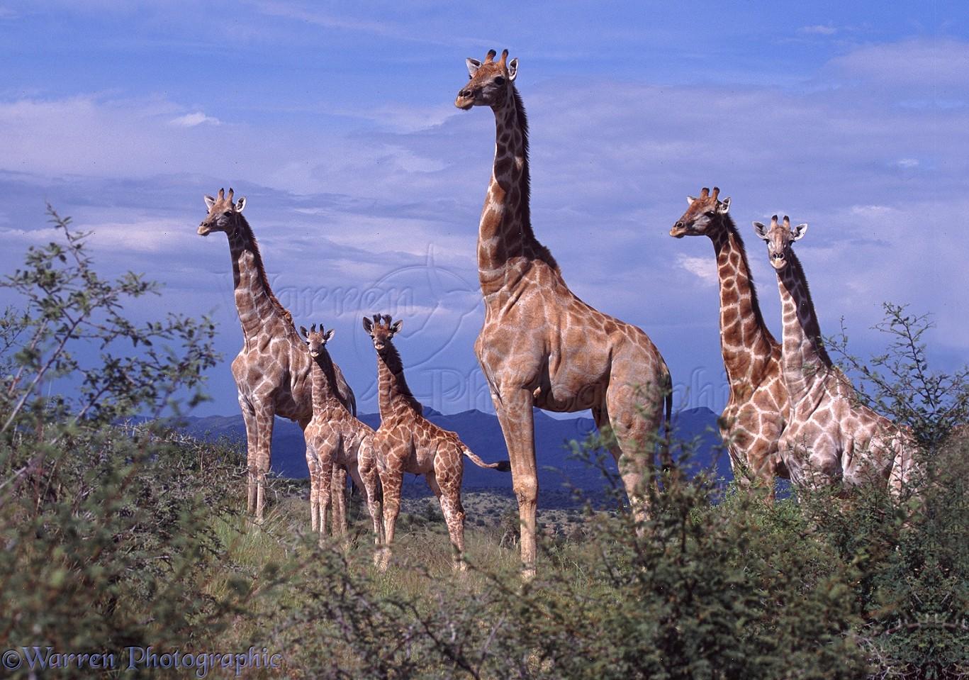giraffe family photo wp06922