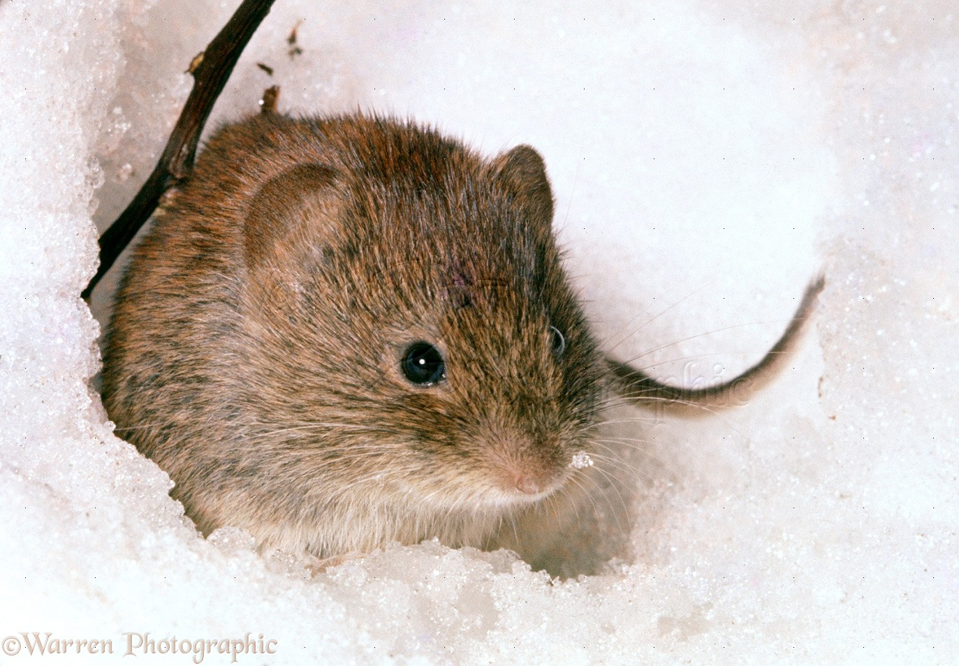 wp07200 bank vole clethrionomys glareolus in snow