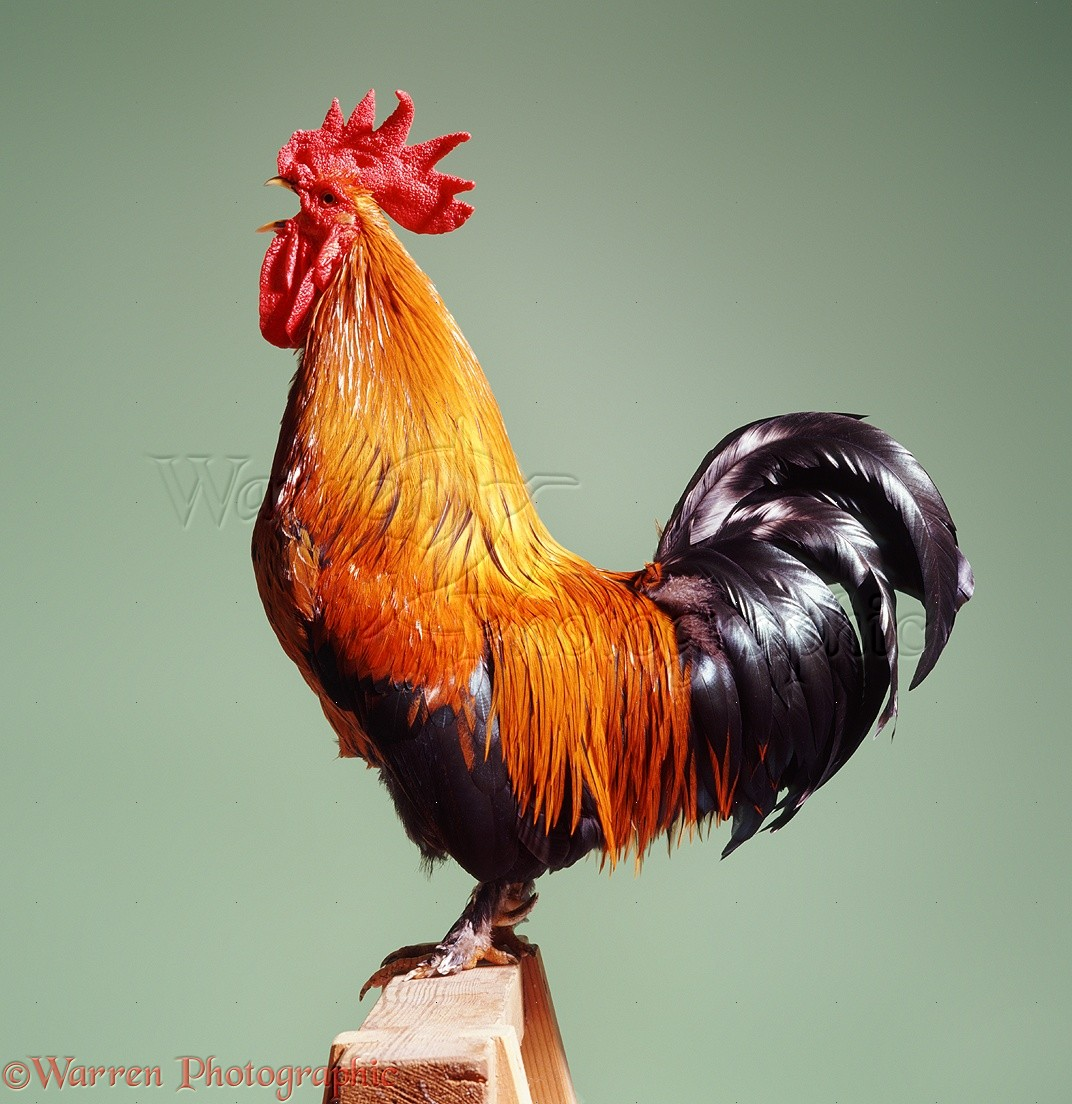 Picture Of A Cock 5