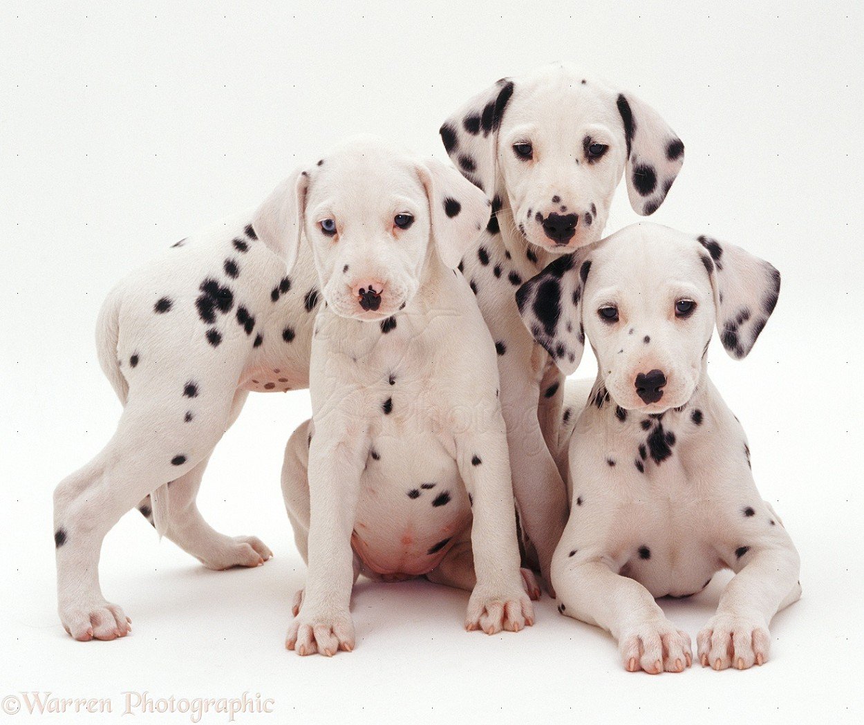 WP07311 Three Dalmatian puppies, 8 weeks old. The pup with one blue ...