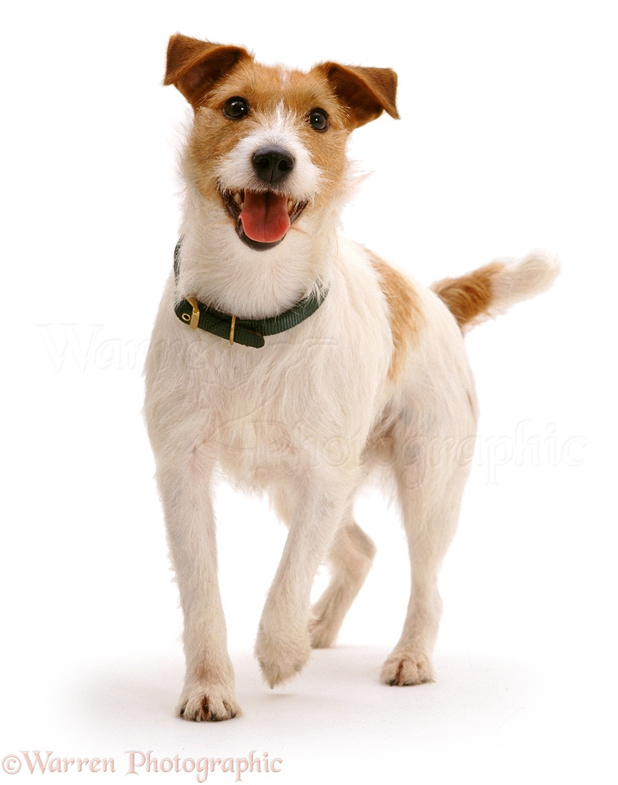 White Jack Russell Terrier Images & Pictures - Findpik