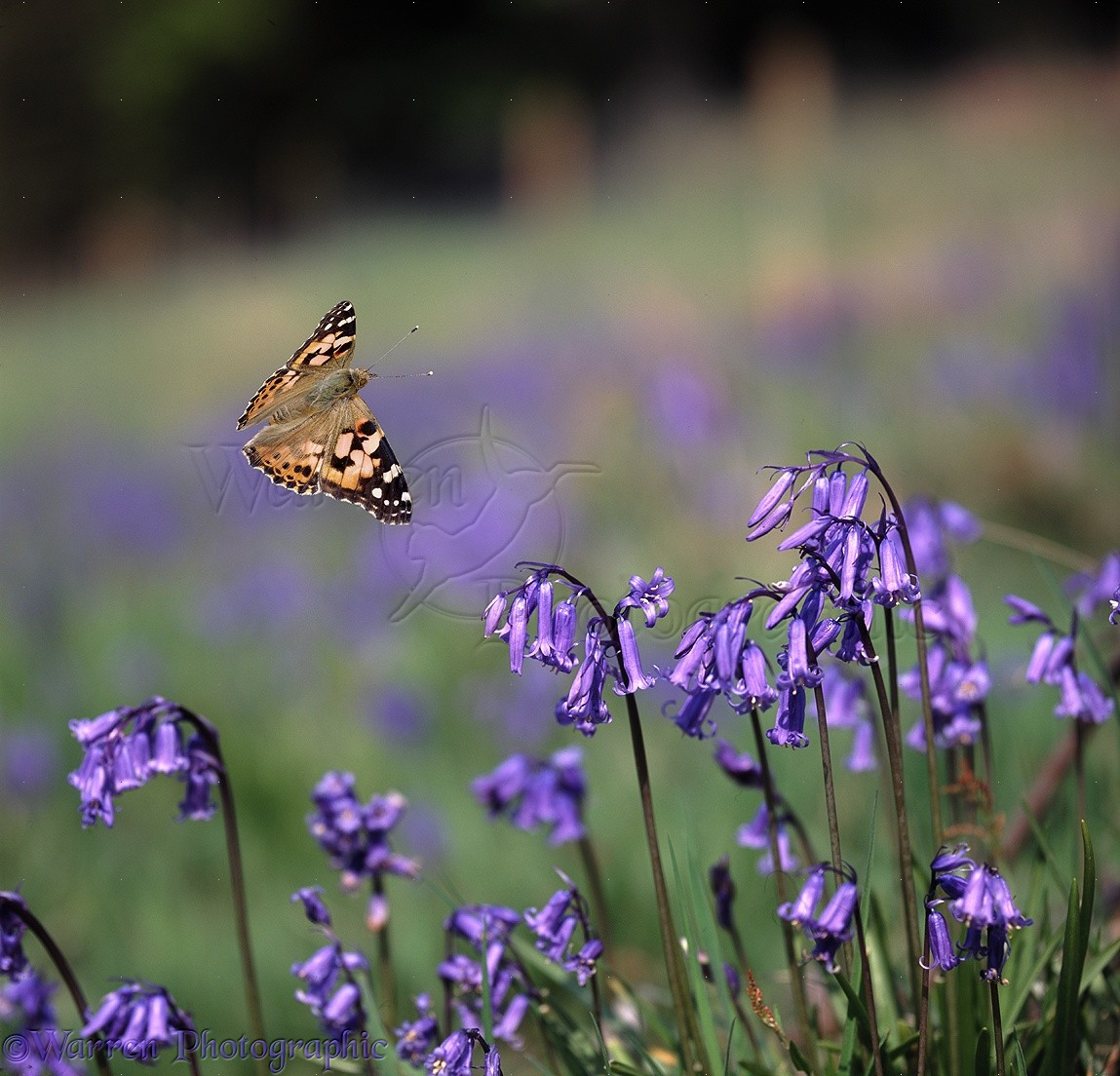 Wasp >> Painted Lady Butterfly flying over bluebell flowers photo ...