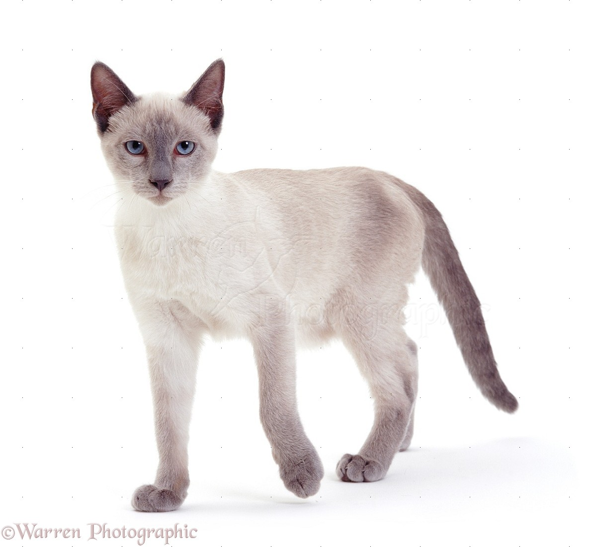 07405 Siamese cat white background