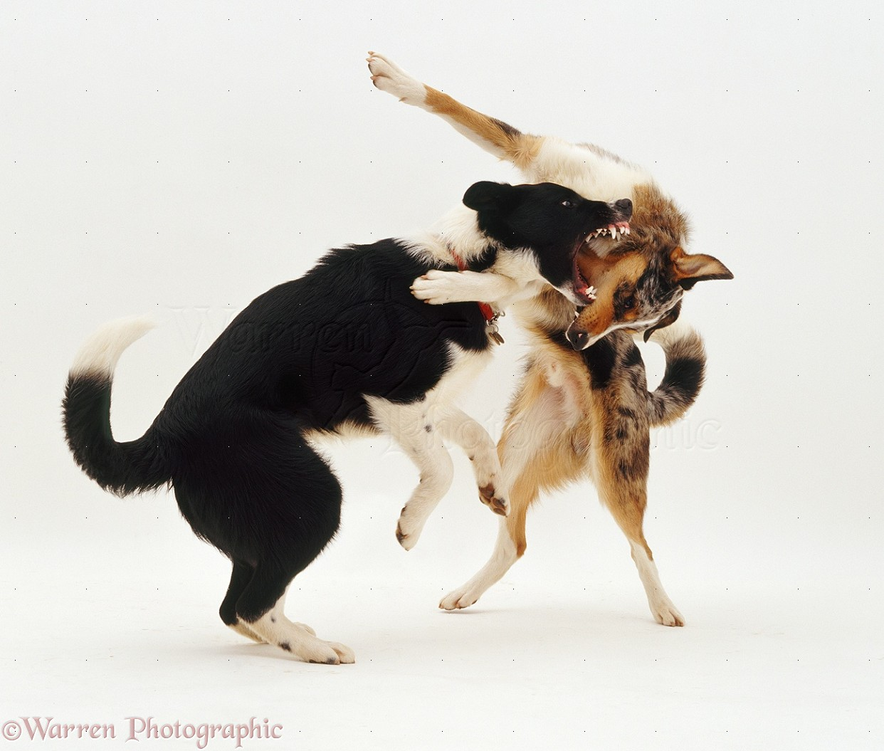 Border Collie Fighting