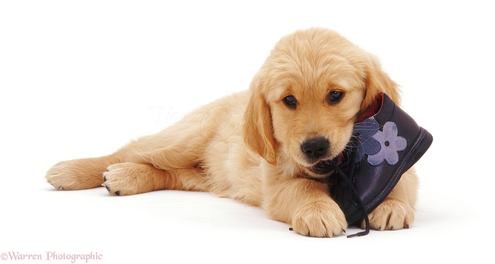 Dog Golden Retriever Puppy Photo Wp07411