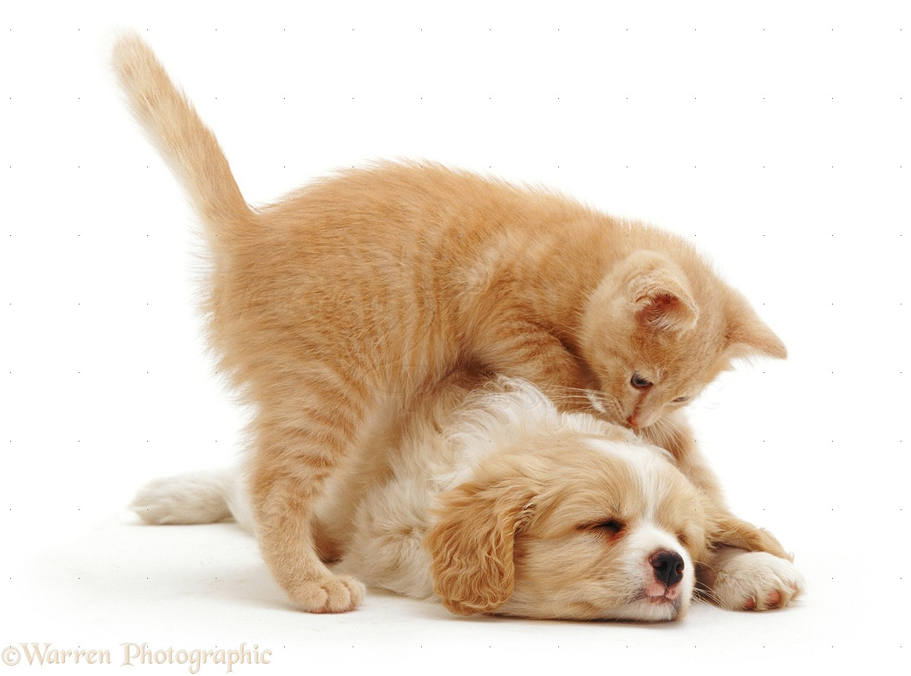 Pets Kitten Investigating A Puppy Photo Wp07422