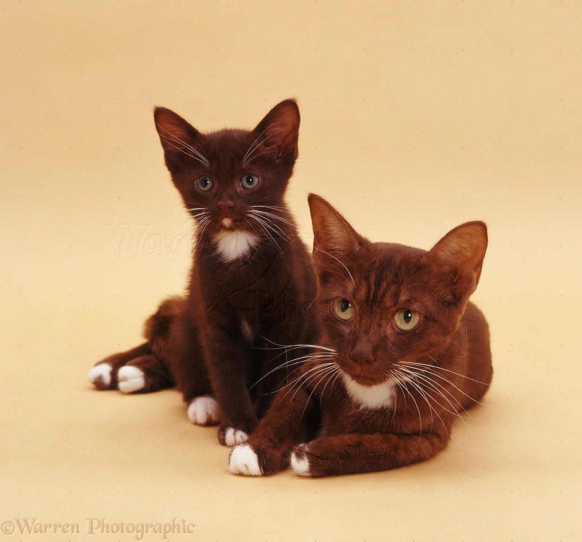 Chocolate-and-white cat and kitten photo - WP07436