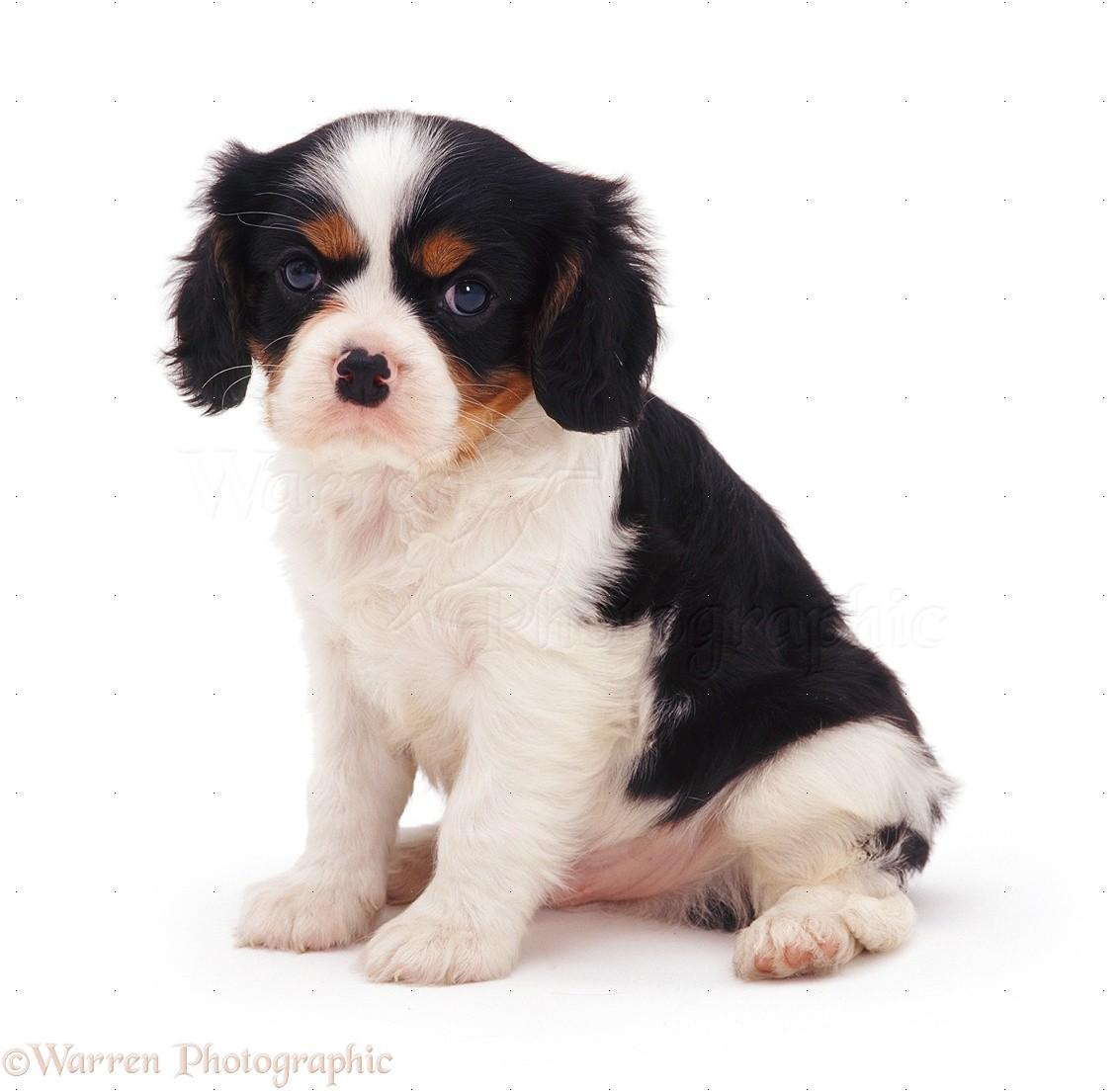 Dog Cavalier King Charles Spaniel Pup Photo Wp07524