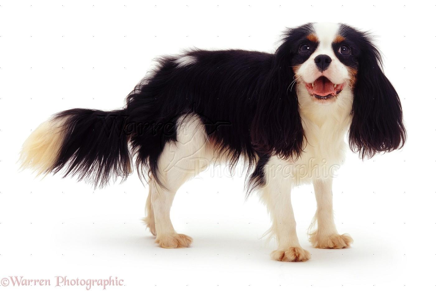 dog cavalier king charles photo   wp07538