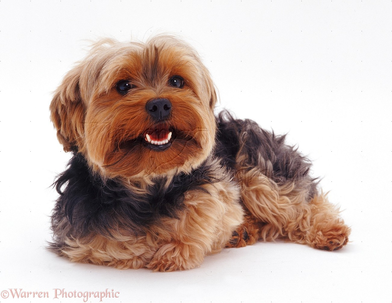 Yorkshire Terrier photo - WP07560