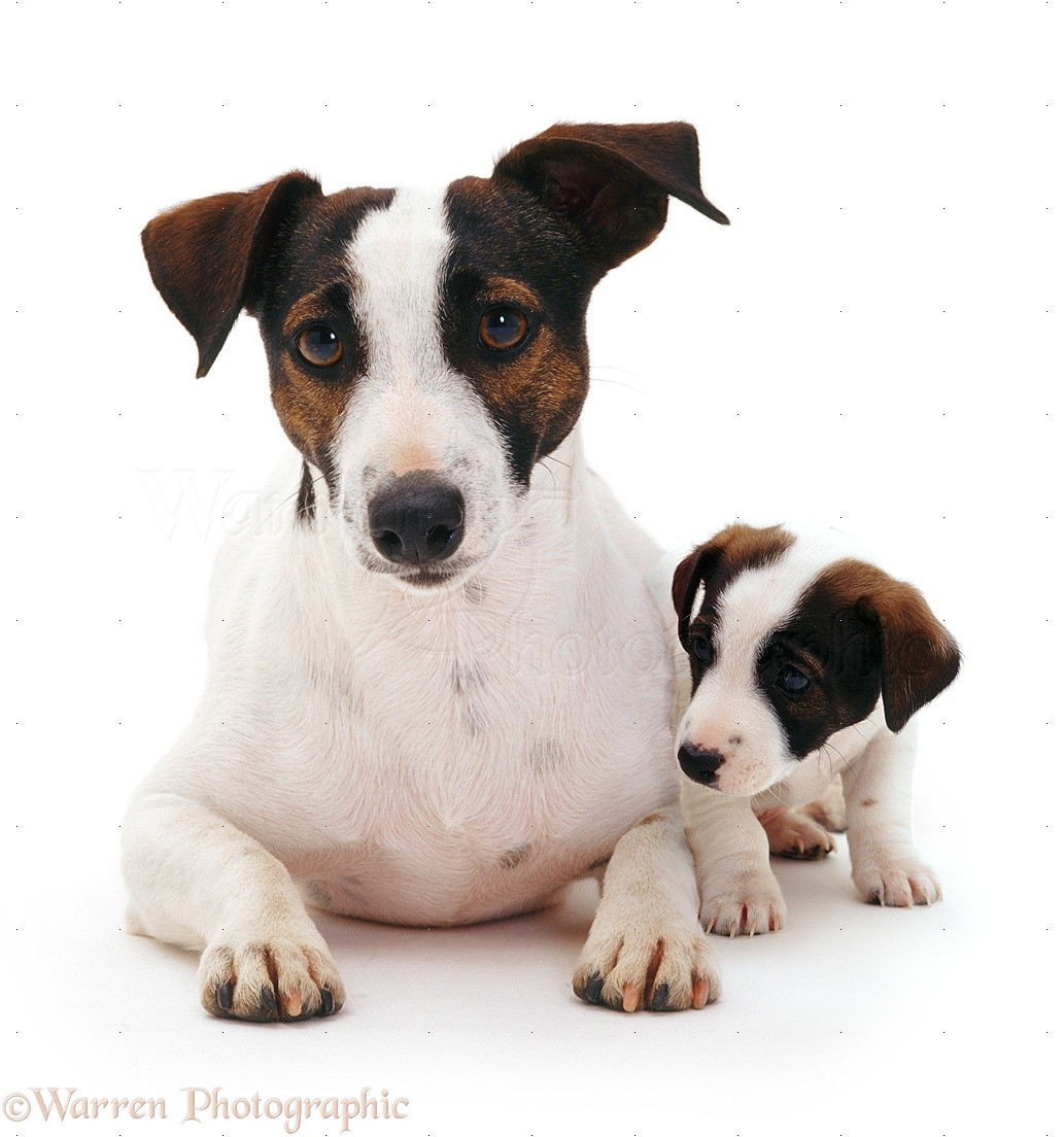 Dogs: Jack Russell Terrier and pup