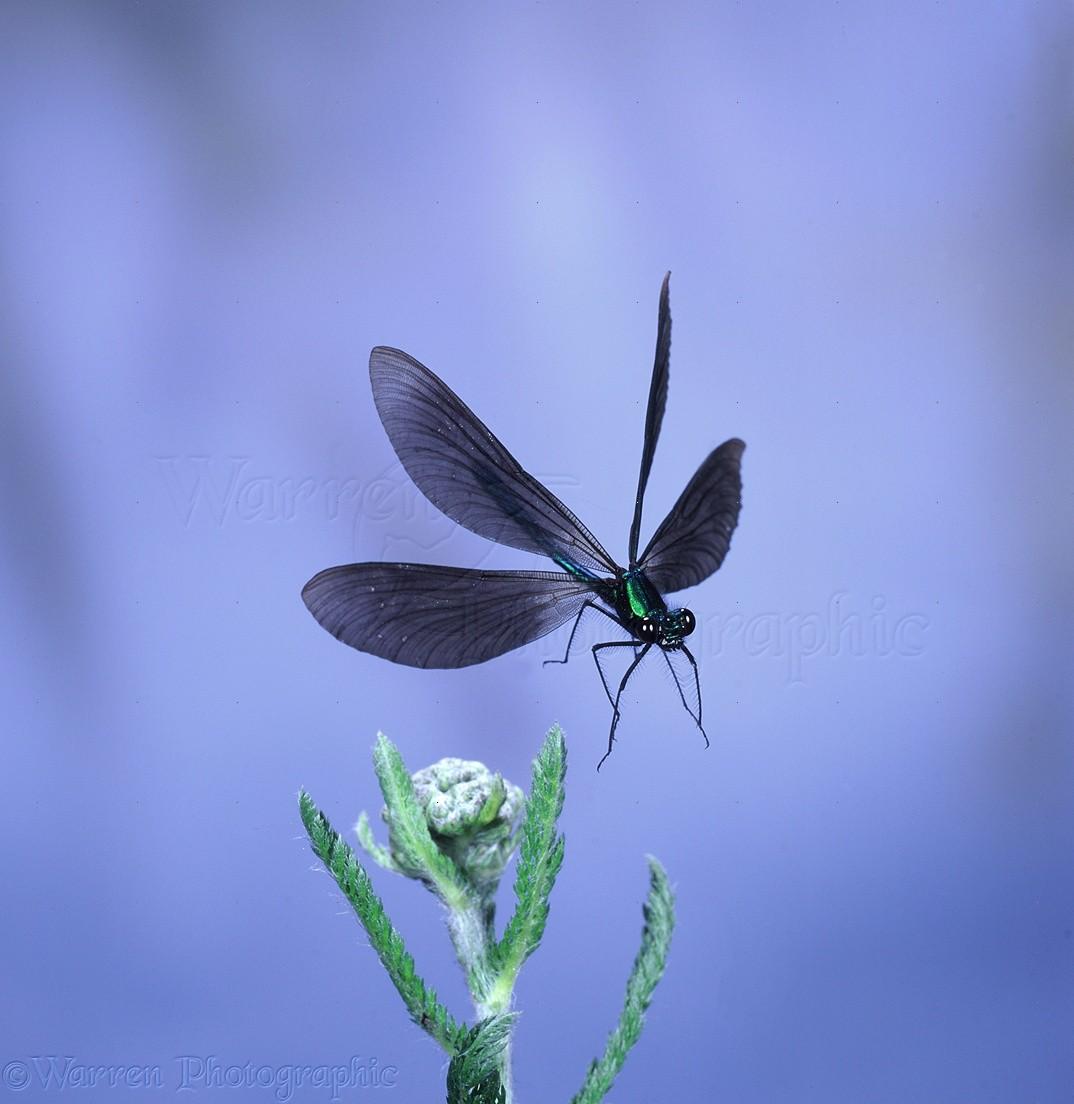 Demoiselle | Beautiful Demoiselle Damselfly In Flight Photo Wp07598