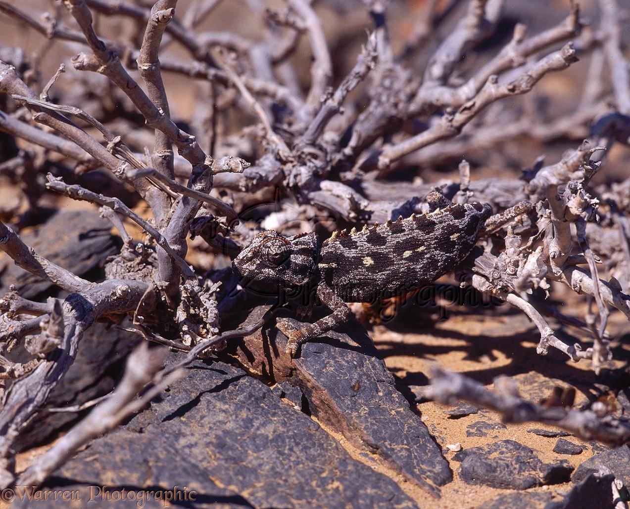 Namaqua Chameleon camouflaged photo WP07608