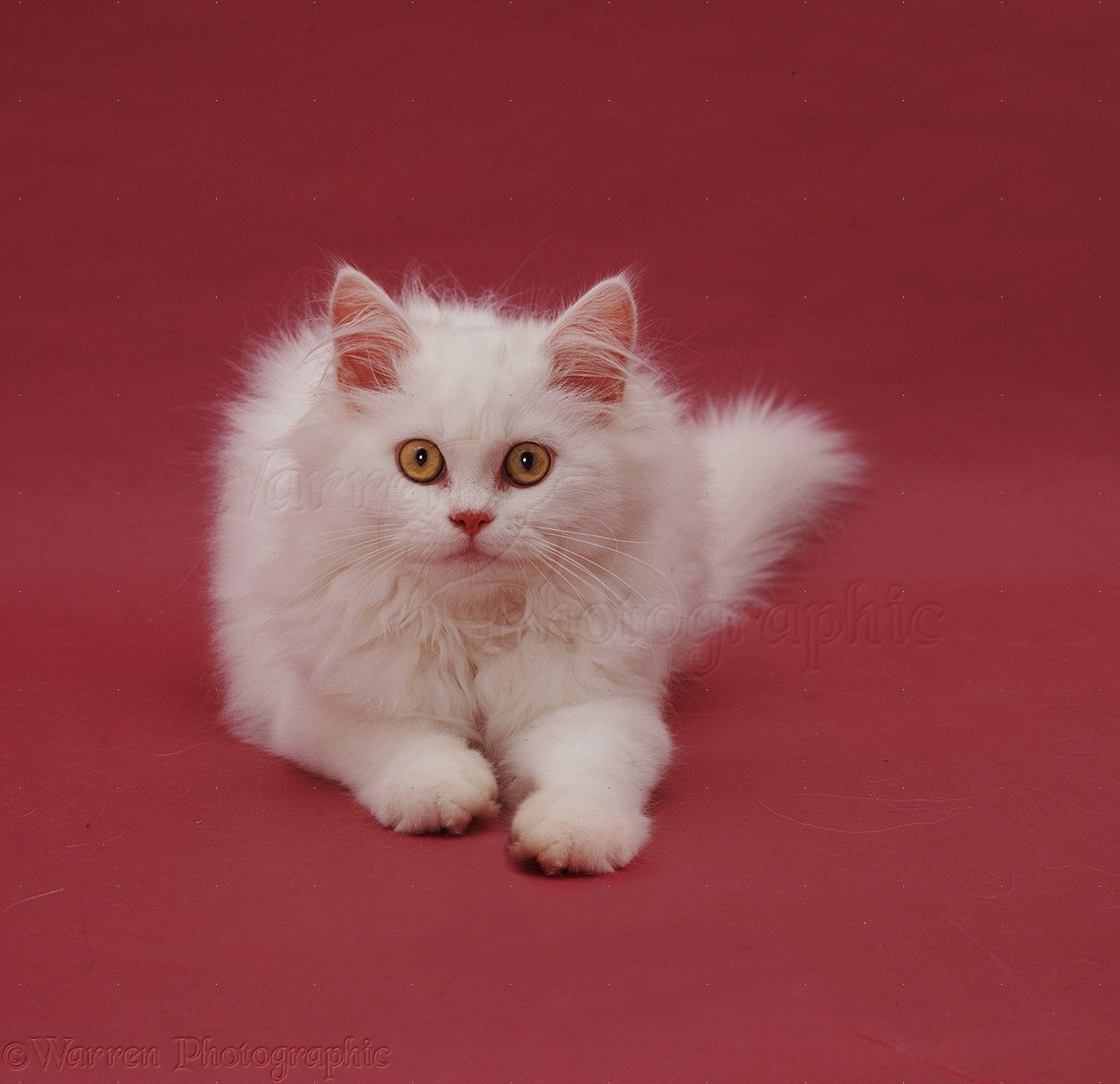 Cat Red And White