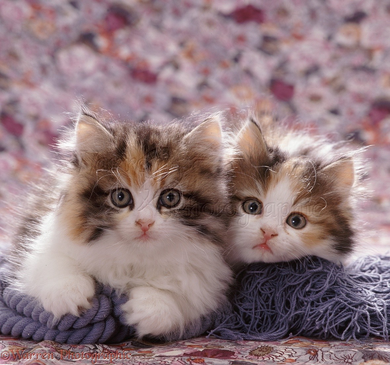 WP07672 Tortoiseshell-and-white Persian cross kitten pair .
