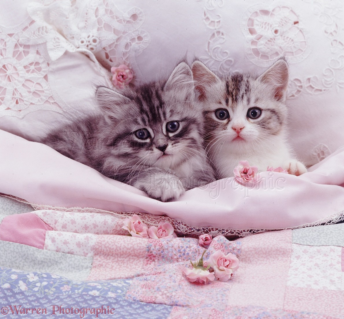 Silver kittens in pale pink bed photo wp07673 for In bed pics