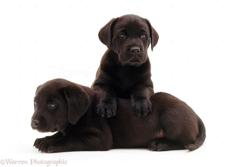 black labrador puppies | image gallery: imagesdaily.blogspot.com/2012/09/black-labrador-puppies.html