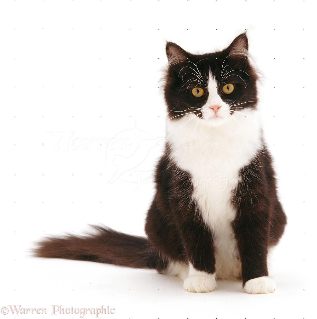 Black and white cat photo WP