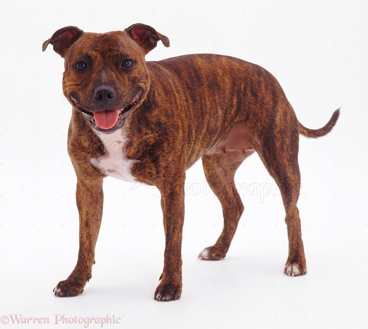 Dog Brindle Staffordshire Bull Terrier Photo Wp07793
