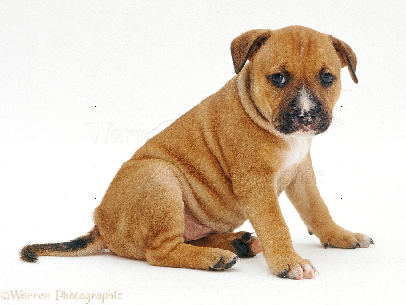 Staffordshire Dogs For Sale Uk