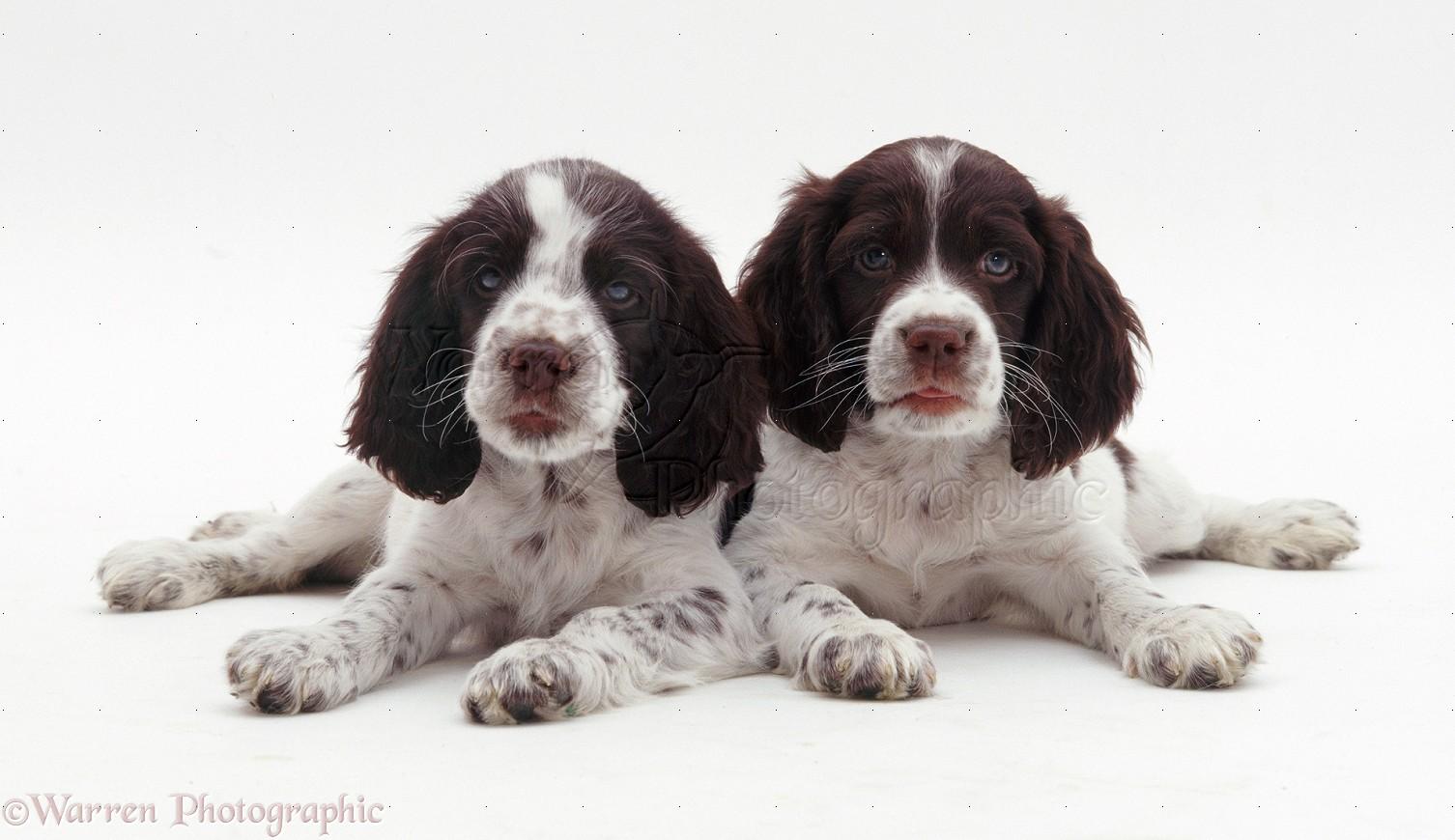 Dogs: English Springer...