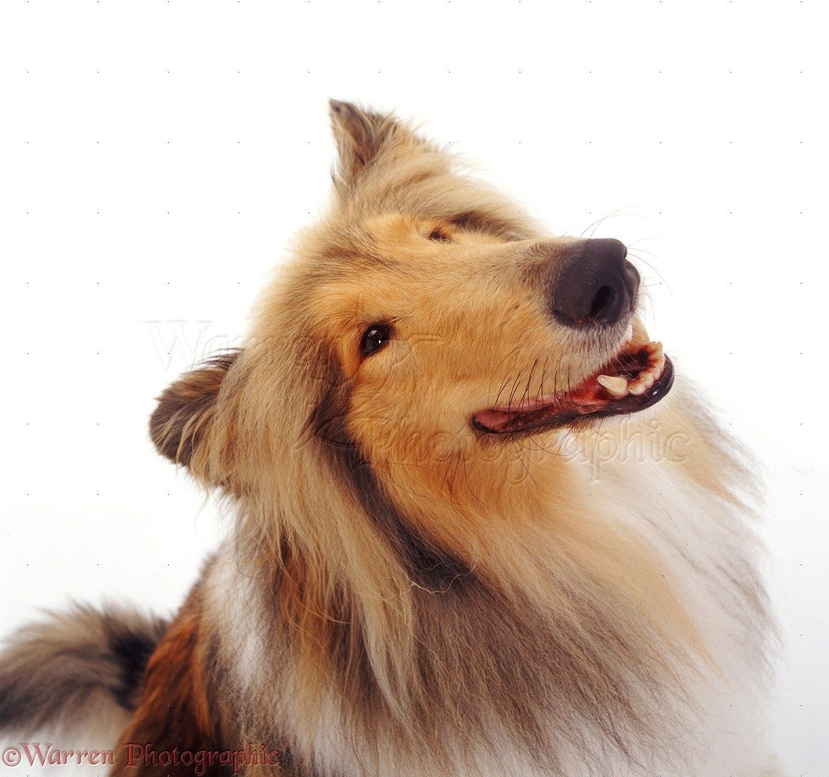 dog rough collie photo   wp08012