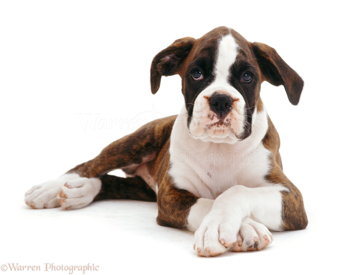 Dog Breeds With White Paws
