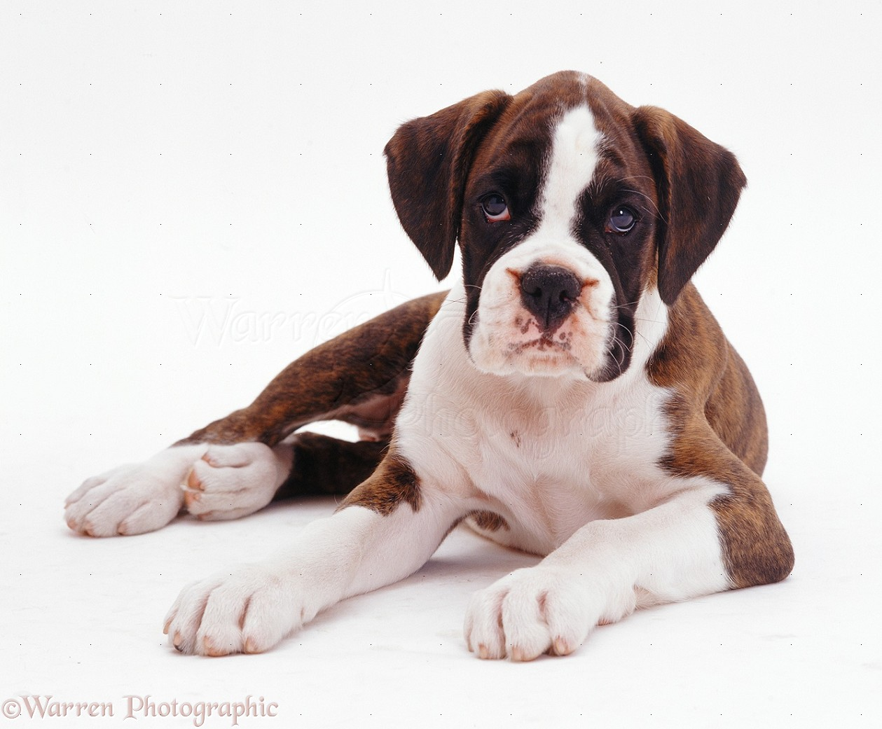 Dog: Brindle-and-white Boxer pup photo - WP08029