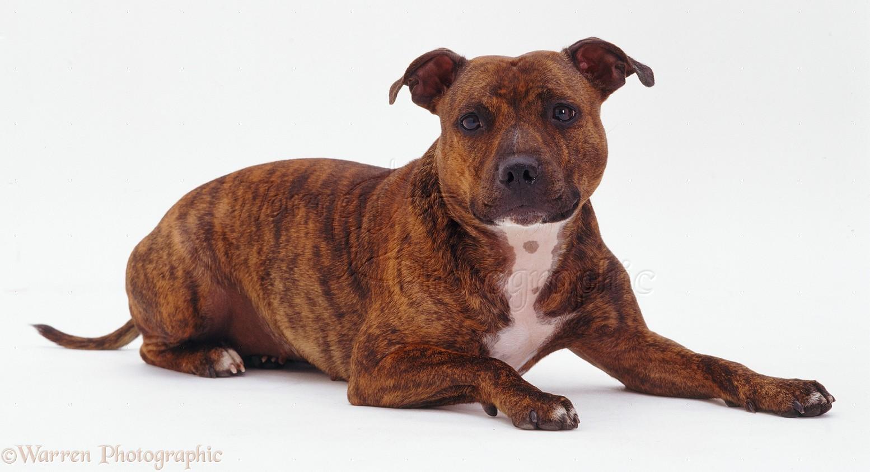 bull terrier | Stafford Sire Terrier | Pinterest | Staffordshire Bull ...