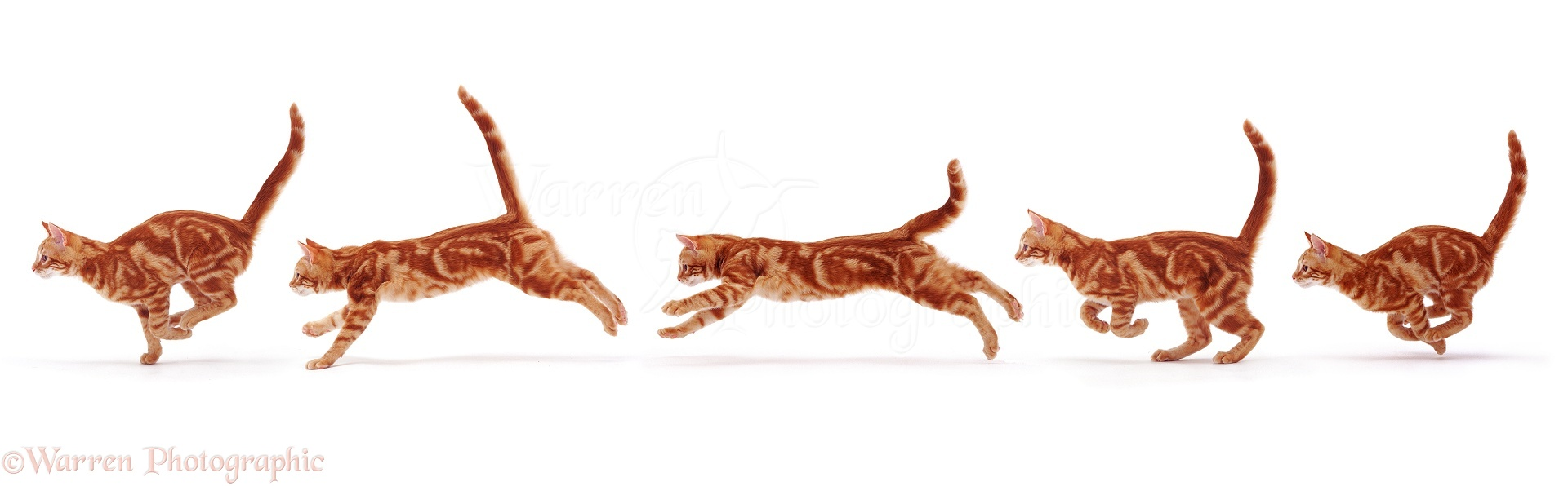 http://www.warrenphotographic.co.uk/photography/bigs/08119-Ginger-cat-running-white-background.jpg