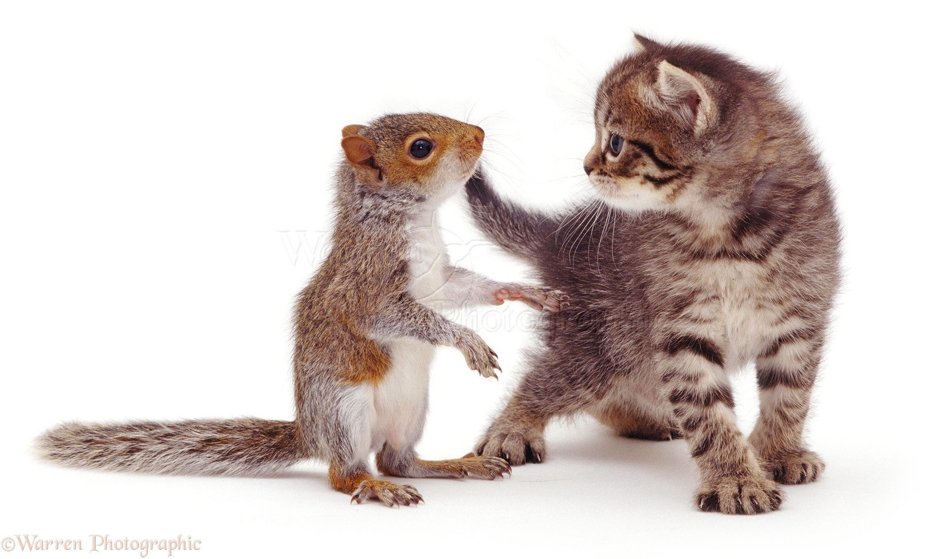 Matching Images >> Cute Animal Picture of Baby Grey Squirrel and Kitten, WP08139.