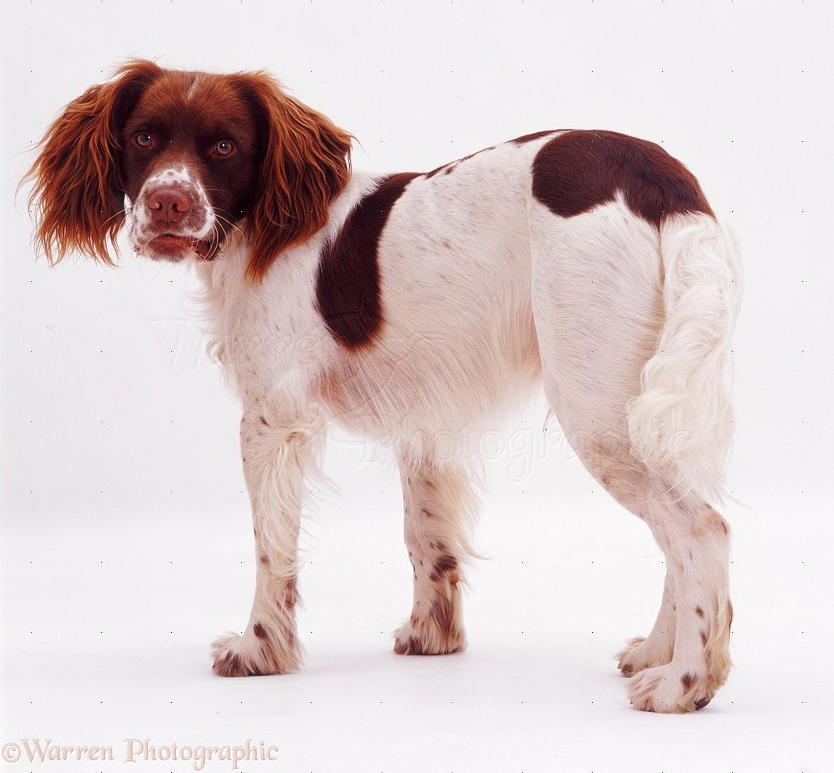 Dog: English Springer Spaniel photo WP08163
