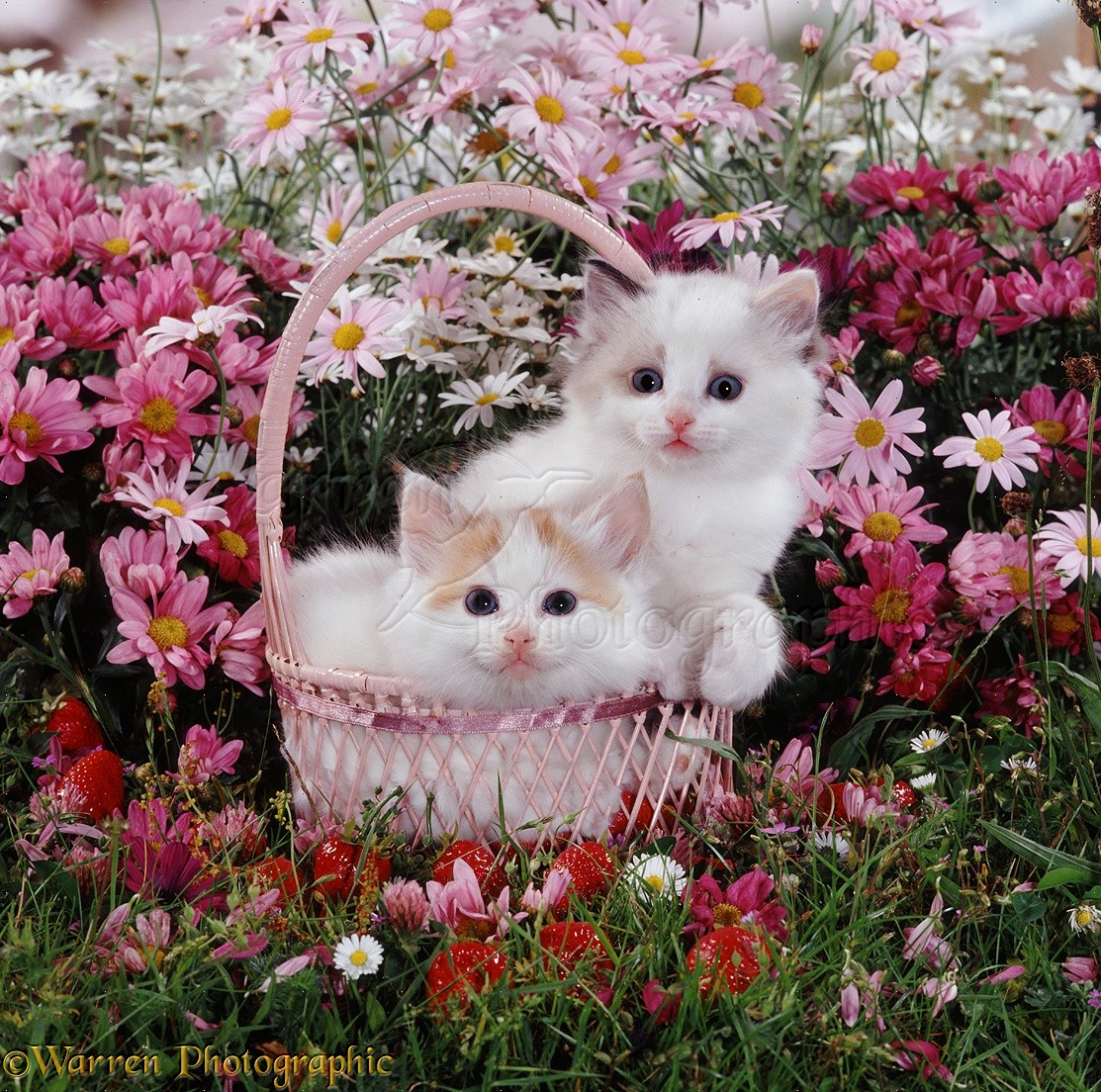 Kittens in a basket among flowers photo WP08178