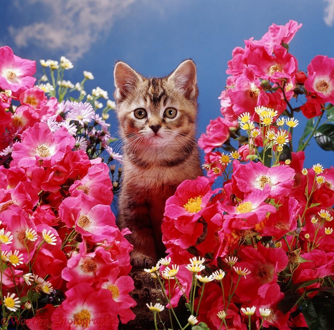 Kitten among pink rose flowers photo wp08197 tabby burmilla kitten among american pillar roses with feverfew mightylinksfo