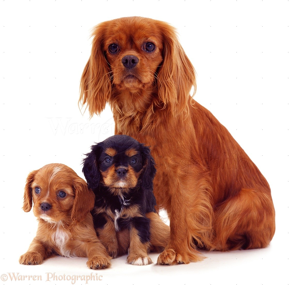 Dogs: Cavalier King Charles Spaniel mother and pups photo ...