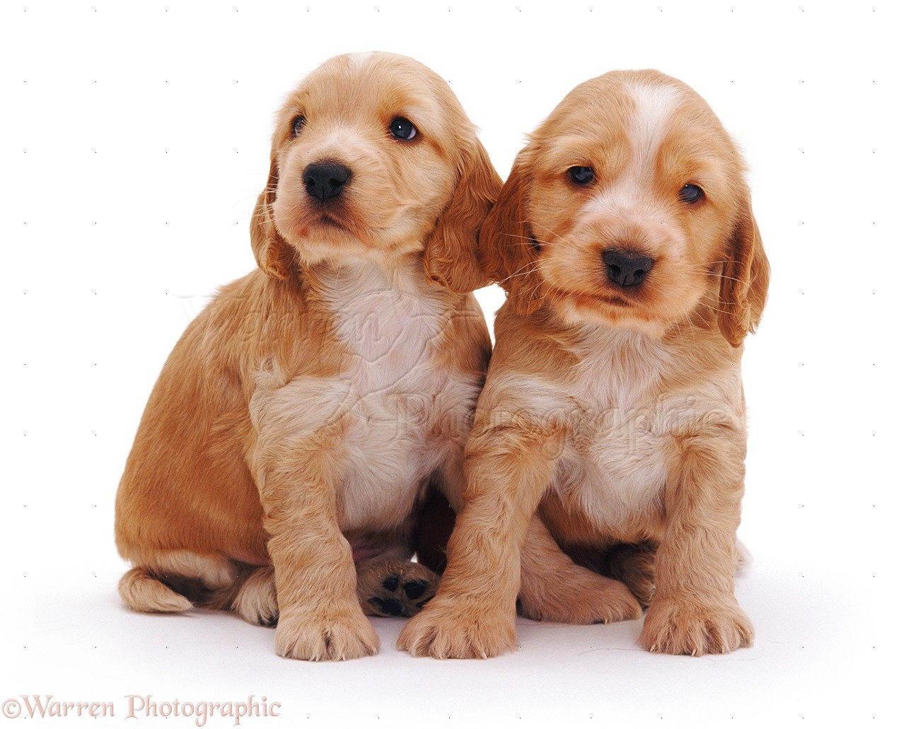 Golden Cocker Spaniel puppies photo - WP08253
