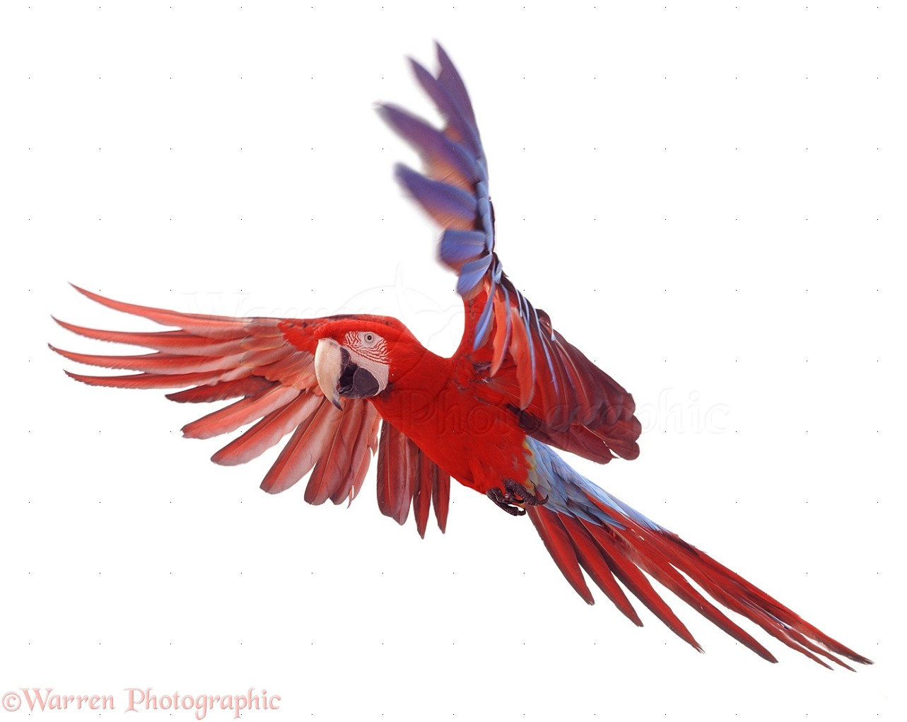 Green Winged Macaw In Flight Photo Wp08260