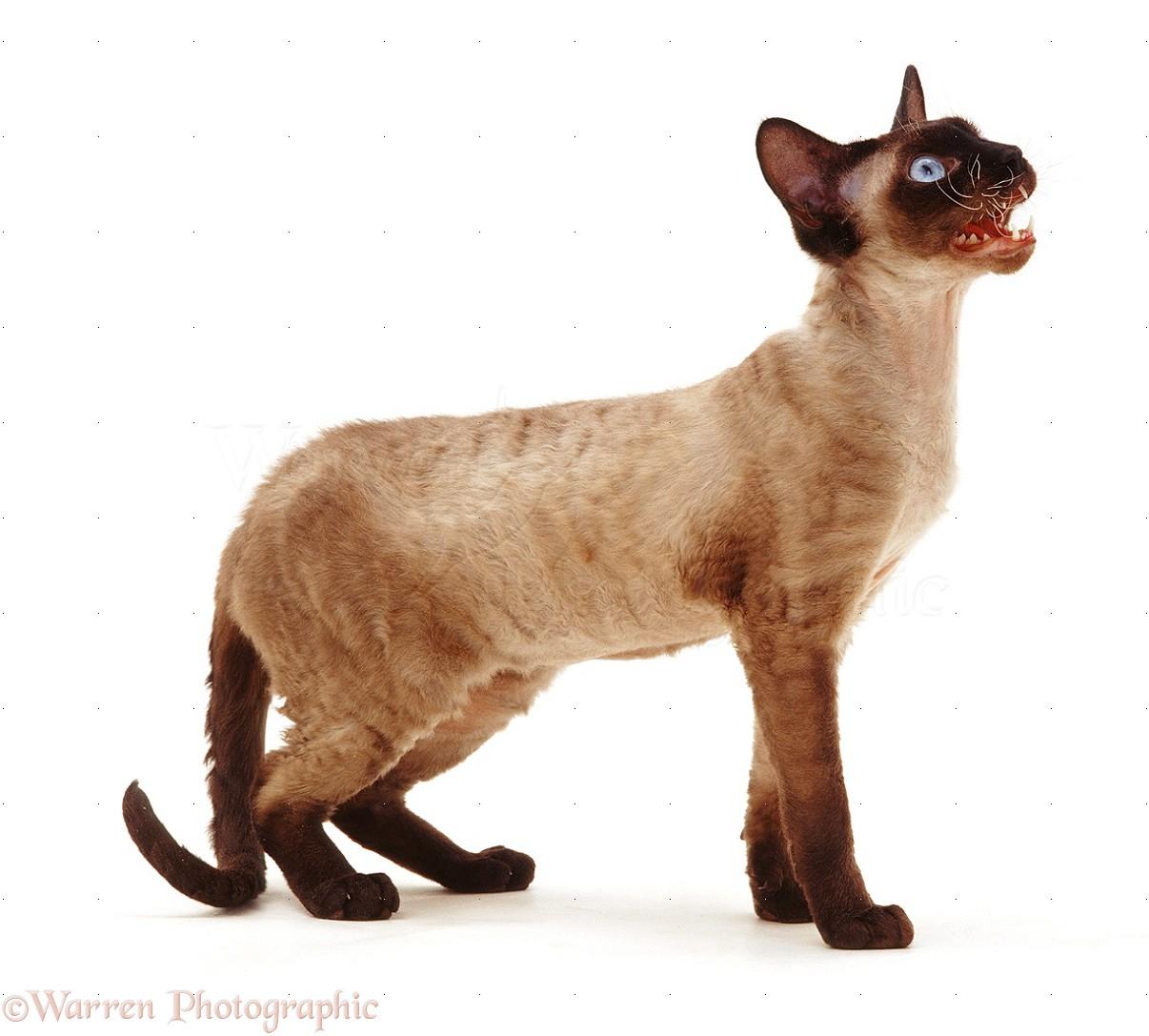 Devon Rex White Cat