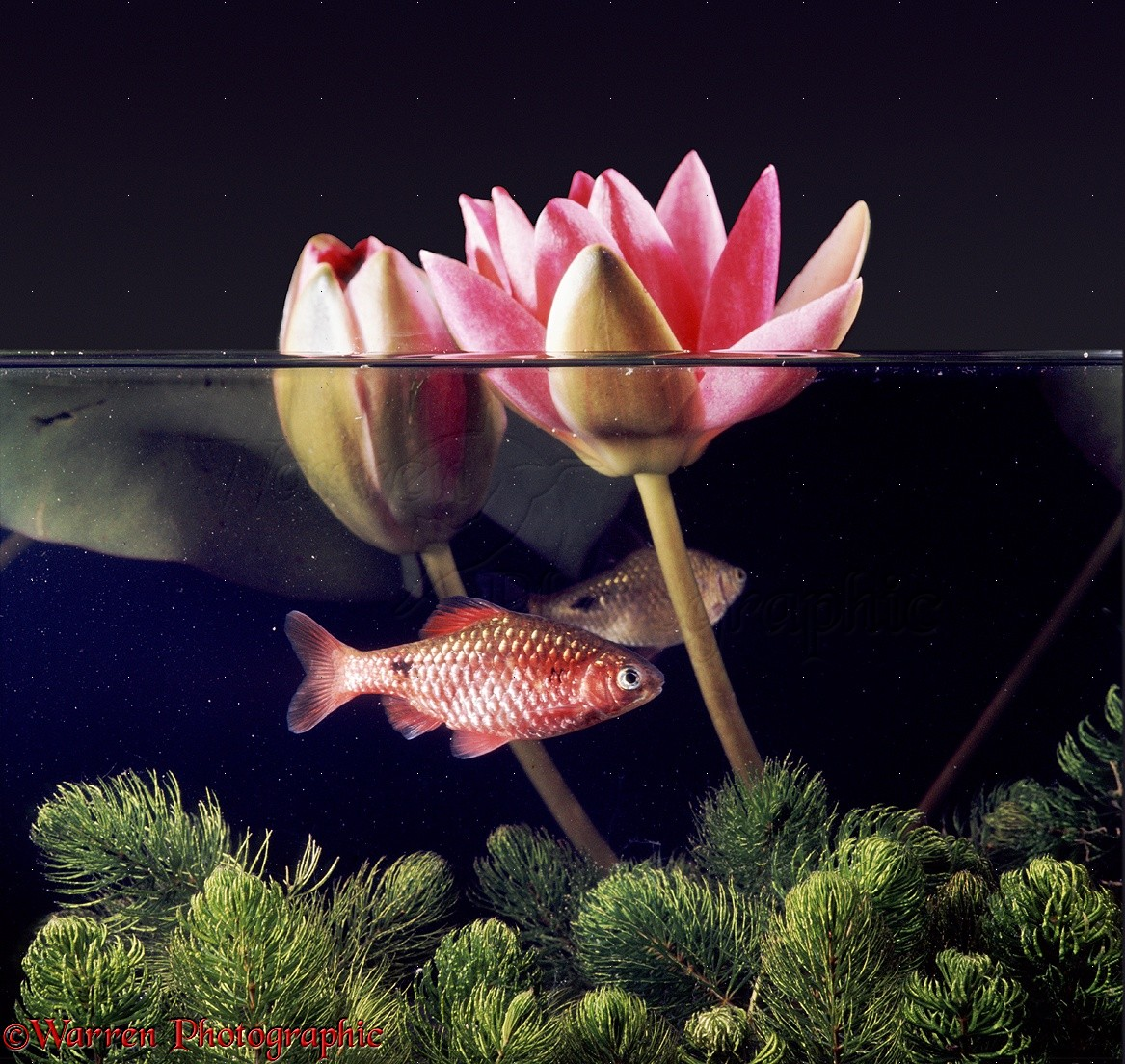 WP08310 Rosy Barb ( Barbodes schwanenfeldii ) male in full breeding ...