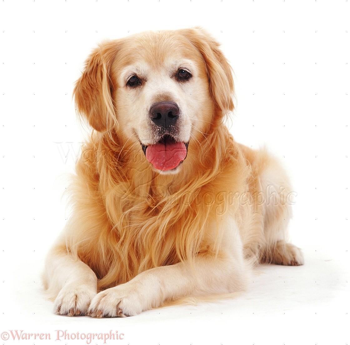 Wp08363 golden retriever dog teddy lying with head up