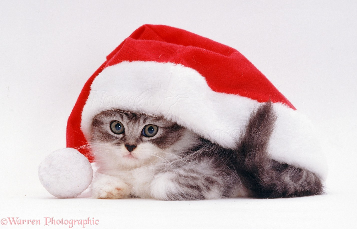 Kitten in a Santa hat photo - WP08381