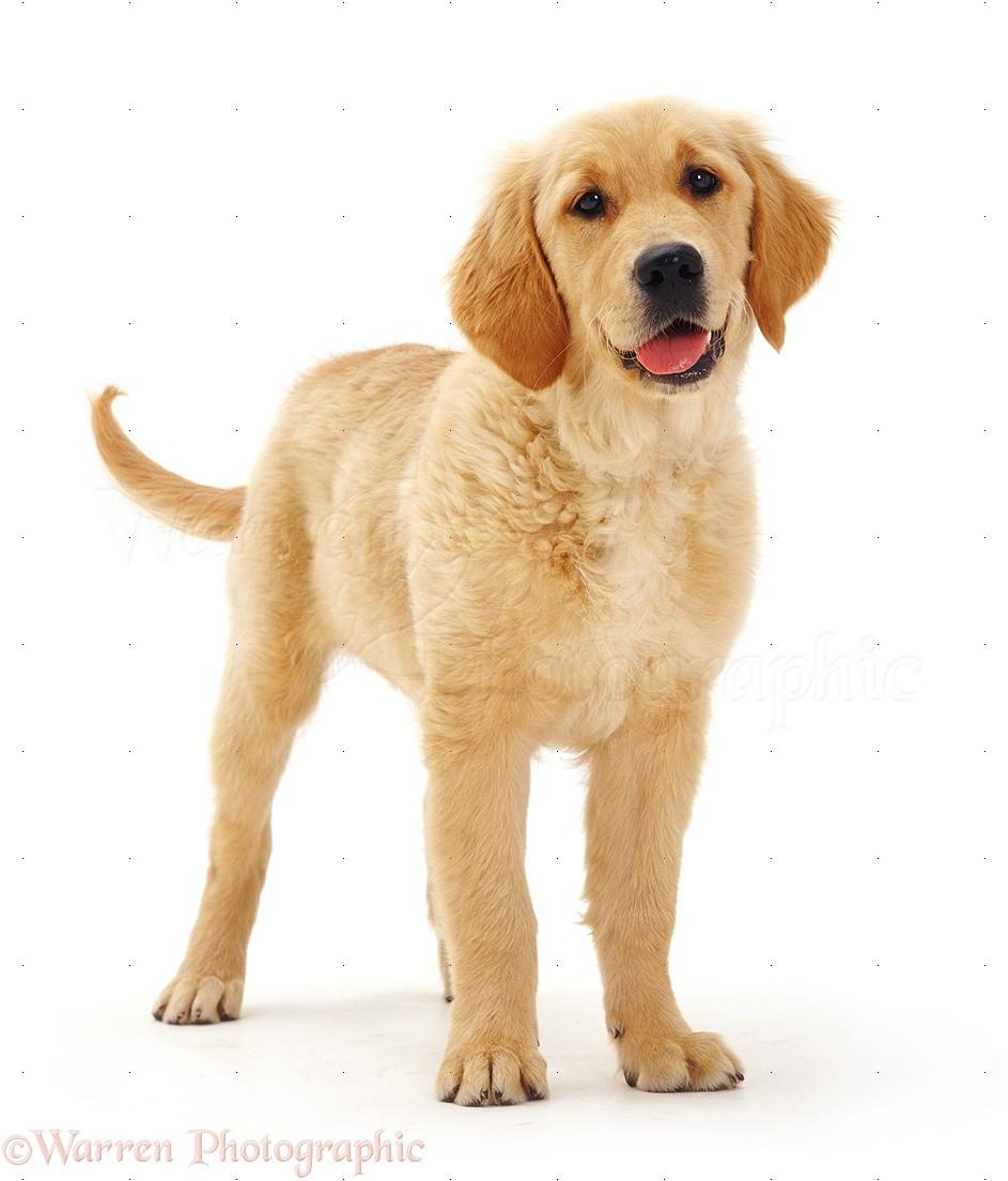 Dog Golden Retriever Pup Photo Wp08393