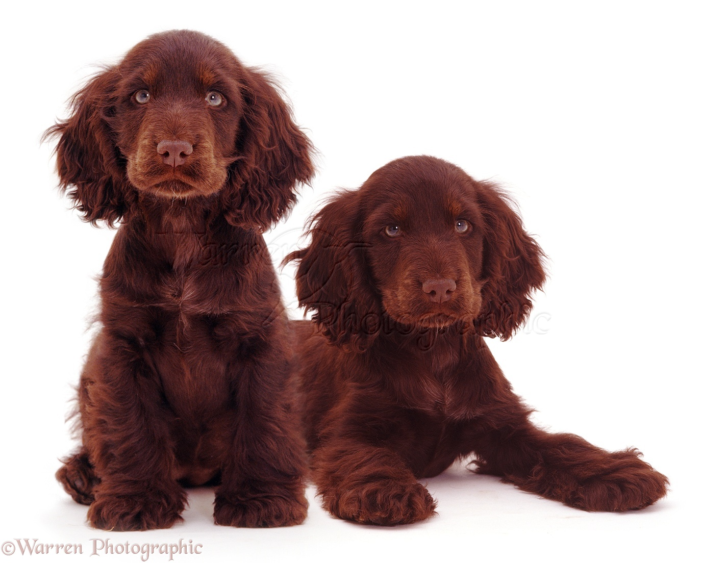 Dogs: Two Chocolate Cocker Spaniels photo - WP08427