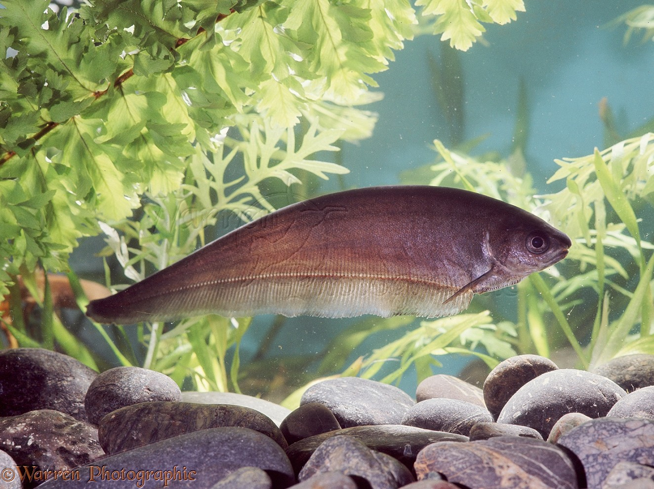 African Knife Fish photo - WP08449