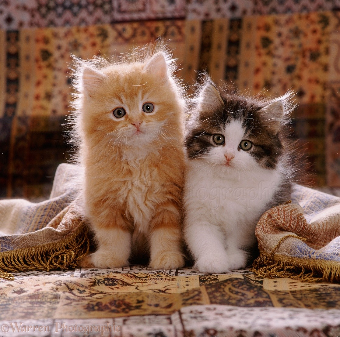 Cute kittens with fringed cover photo WP