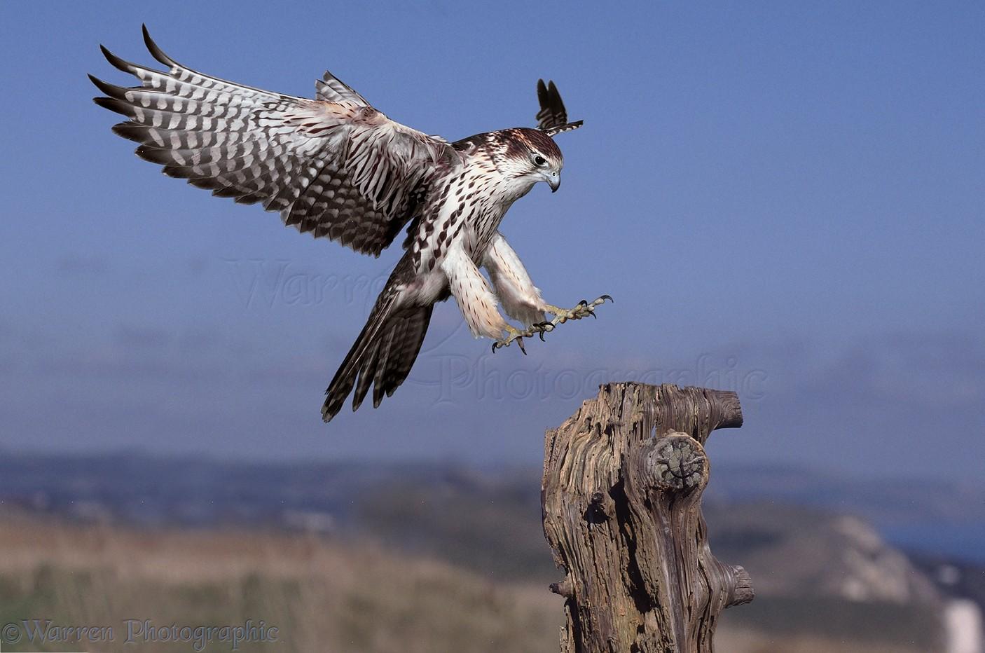Dorisdukephotos ddpph06005 besides View also 29574595621 also 399 as well 1963brad. on the falcon