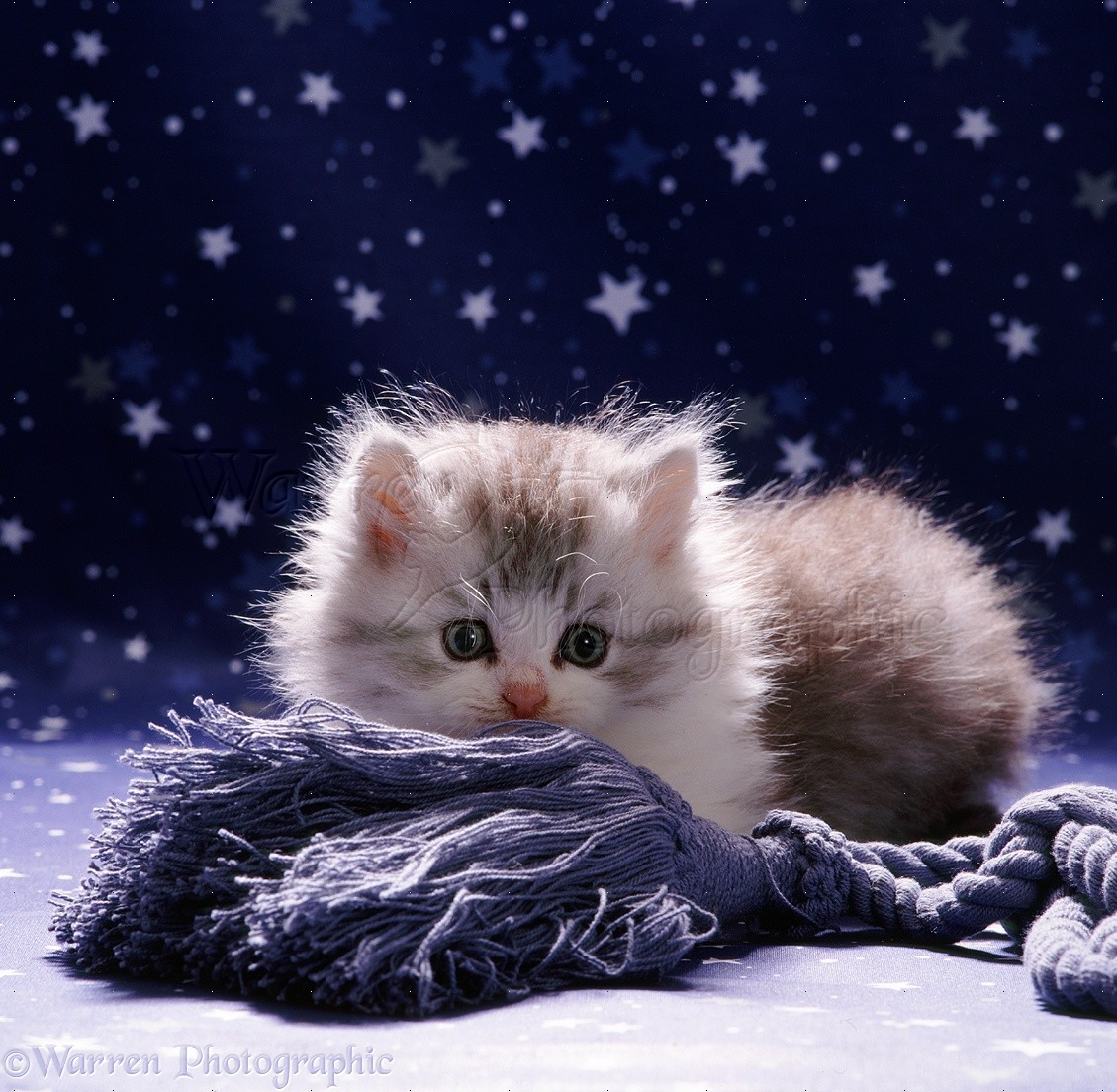 Fluffy kitten photo WP