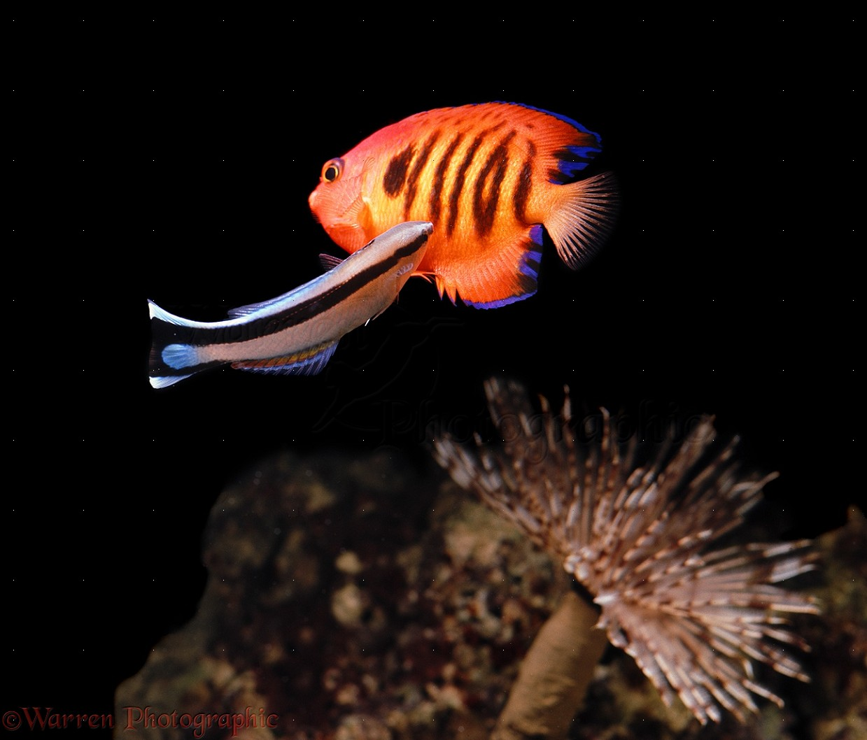 ... ) cleaning Flame Dwarf Angel ( Centropyge loriculus ). Hawaii