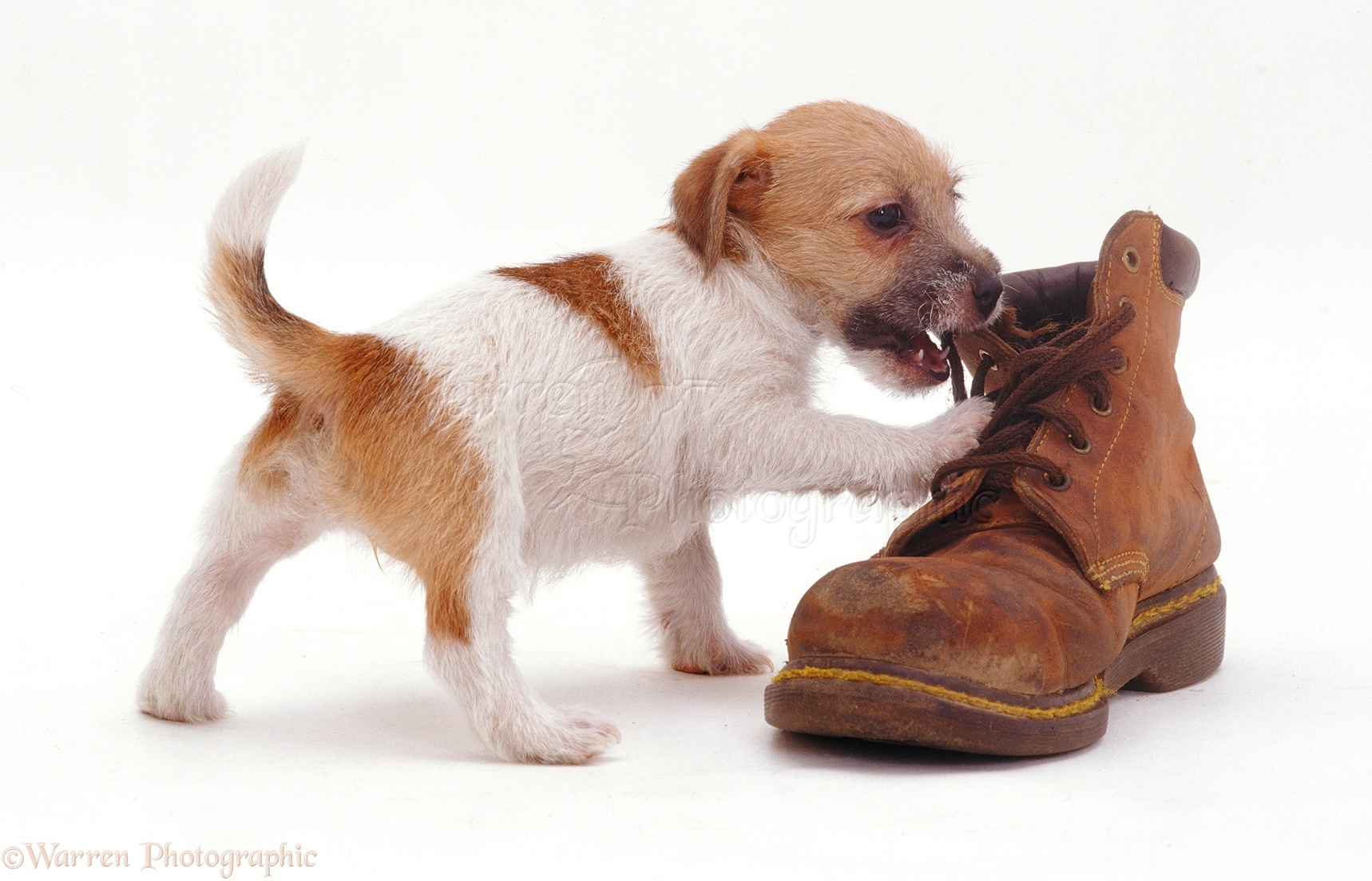 6bcb2beab3d WP08584 Jack Russell Terrier pup Gina inspecting a shoe.