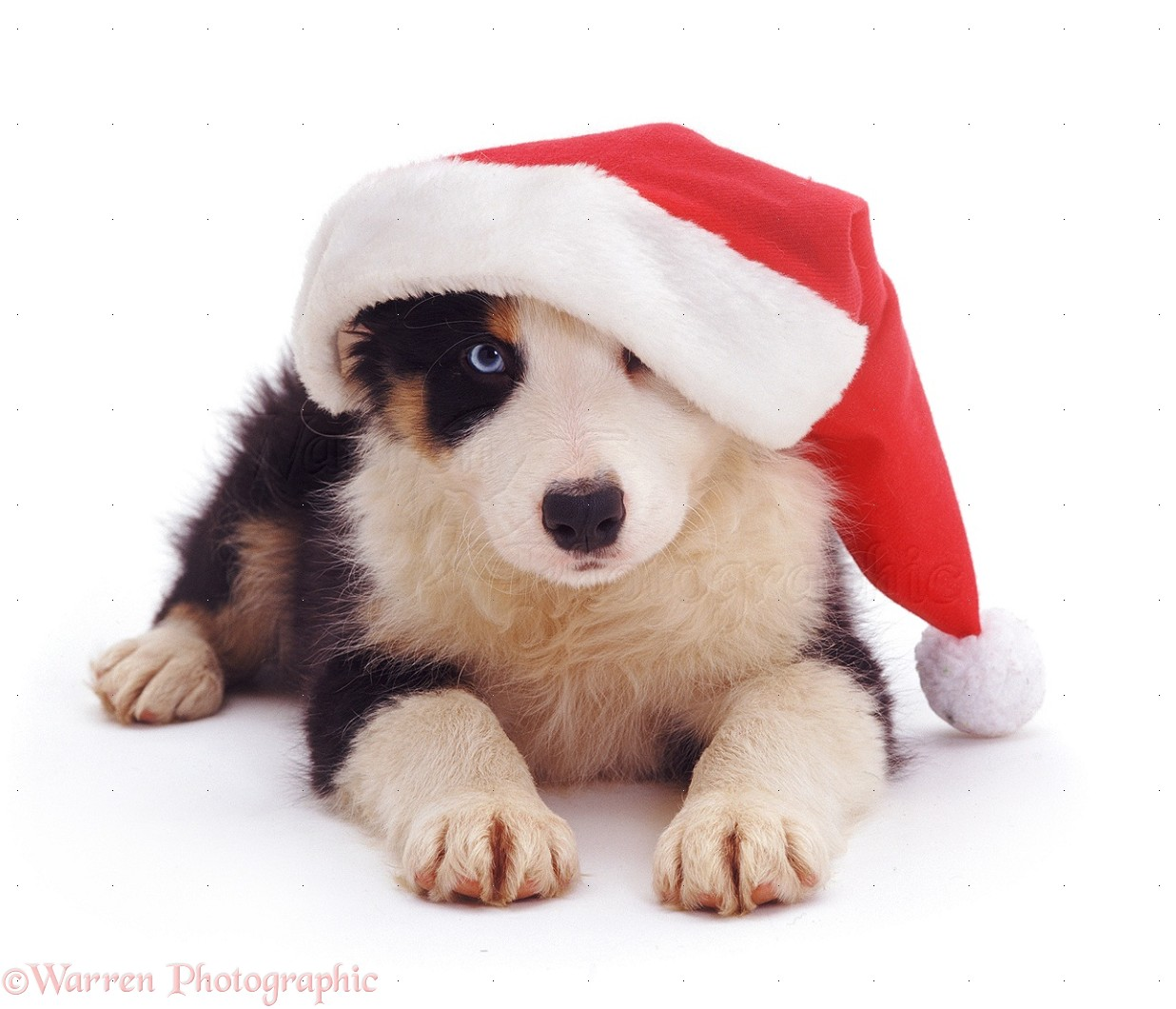 dog border collie pup with santa hat photo wp08674